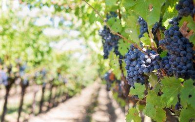Pourquoi les raisins crucifères et rouges peuvent prévenir le cancer?